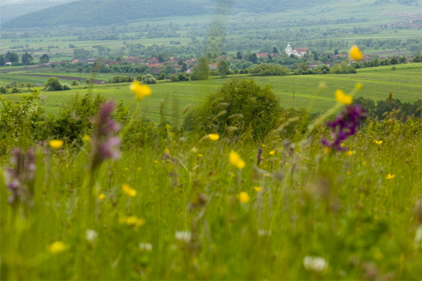 Miklosvar behind buttercups and orchids, by Fabrice Grover
